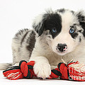 Border Collie Pup by Mark Taylor