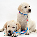 Goldidor Retriever Puppies by Jane Burton