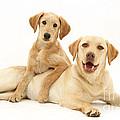 Labradoodle And Labrador Retriever by Jane Burton