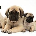 Pug And English Mastiff Puppies by Jane Burton