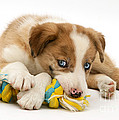Border Collie Puppy by Jane Burton