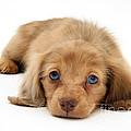 Dachshund Pup by Jane Burton