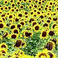 Field Of Sunflowers by Bernard Jaubert