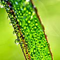 Dewdrops On Lemongrass by Thomas R Fletcher