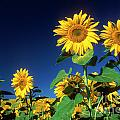 Sunflowers  by Bernard Jaubert
