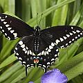A Black Swallowtail Butterfly, Papilio by George Grall