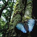 A Blue Morpho Butterfly by Joel Sartore