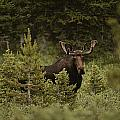 A Bull Moose Stops For A Photograph by Raymond Gehman