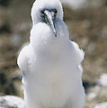 A Chick Blue Footed Booby Sits by Gina Martin