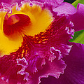 A Close View Of A Bright Pink Cattleya by Jonathan Blair