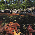 A Group Of Ochre Sea Stars Clustered by Bill Curtsinger