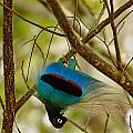 A Male Blue Bird Of Paradise Performing by Tim Laman