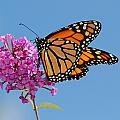 A Monarch Butterfly, Danaus Plexippus by Darlyne A. Murawski
