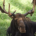 A Moose by Ernie Echols