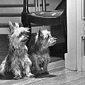 A Pair Of Australian Silky Terriers by Willard Culver