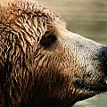 A Portrait Of A Captive Kodiak Brown by Tim Laman
