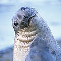 A Portrait Of A Northern Elephant Seal by Rich Reid