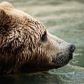 A Side-view Of A Captive Kodiak Bear by Tim Laman