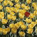 A Single Red Tulip Among Yellow Tulips by Ted Spiegel