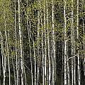 A Stand Of Aspen Trees At Wolf Creek by Rich Reid