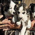 Alaskan Huskey Puppies by John Greim