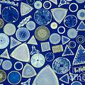 Algae, Fossil Diatoms, Lm by M. I. Walker