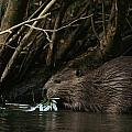 Beaver Building A Dam, Ozark Mountains by Randy Olson