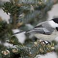 Black-capped Chickadee, Poecile by John Cancalosi
