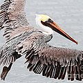Brown Pelican . 7d8234 by Wingsdomain Art and Photography