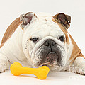 Bulldog With Plastic Chew Toy by Mark Taylor