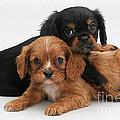 Cavalier King Charles Spaniel Puppies by Jane Burton