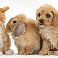 Cavapoo Pup, Rabbit And Ginger Kitten by Mark Taylor