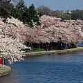 Cherry Blossom Festival, Jefferson by Richard Nowitz