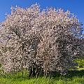 Cherry Blossoms Erupt In Spring Amongst by Jason Edwards