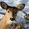 Close Up Of Deer In A Snowy Wooded Setting by Christopher Purcell
