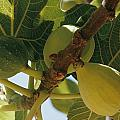 Close-up Of Two Large Figs Hanging by Robert Sisson