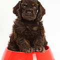 Cocker Spaniel Pup In Doggy Dish by Mark Taylor
