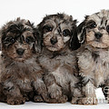 Daxiedoodle Poodle X Dachshund Puppies by Mark Taylor