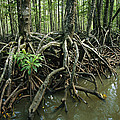 Detail Of Mangrove Roots At The Waters by Tim Laman