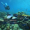 Diver Watching Blue Tangs, Doctorfish by George Grall