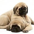 English Mastiff Puppies by Jane Burton