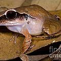Evergreen Robber Frog by Dante Fenolio