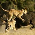 Female African Lions Pounce On An by Beverly Joubert
