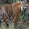 Ferocious Tiger by Brendan Reals