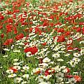 Field Of Daisies And Poppies. by Bernard Jaubert