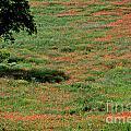 Field Of Poppies. by Bernard Jaubert