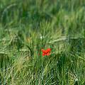 Field Of Wheat With A Solitary Poppy. by Bernard Jaubert
