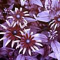 Flower Rudbeckia Fulgida In Uv Light by Ted Kinsman
