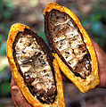 Fungal Infection Of Cacao by Science Source