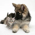 German Shepherd Dog Pup With A Tabby by Mark Taylor